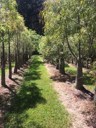 Bottel Trees NZ for sale